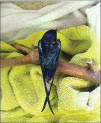 A Barn Swallow who got trapped in a fly strip