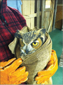A Great Horned Owl who was caught in a leg hold trap