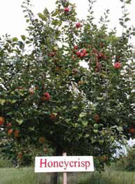Honeycrisp is gaining popularity